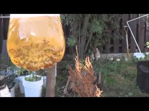 The BEST Fruit Fly Trap! Ever! - YouTube