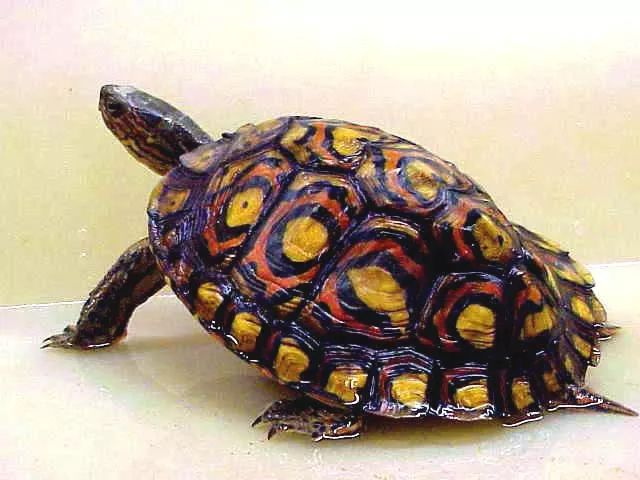 The Ornate Wood Turtle: A Living Masterpiece!