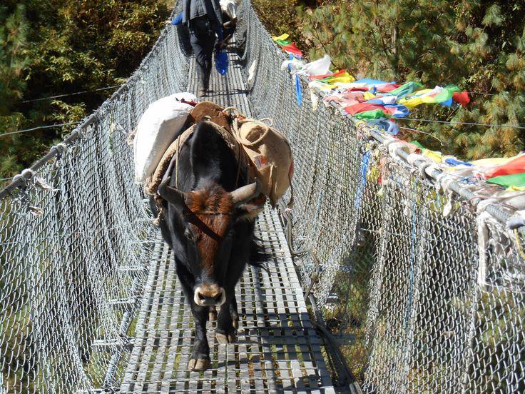 Er is maar een pad vanaf Lukla omhoog, dus ook de yaks moeten over de hangbruggen.