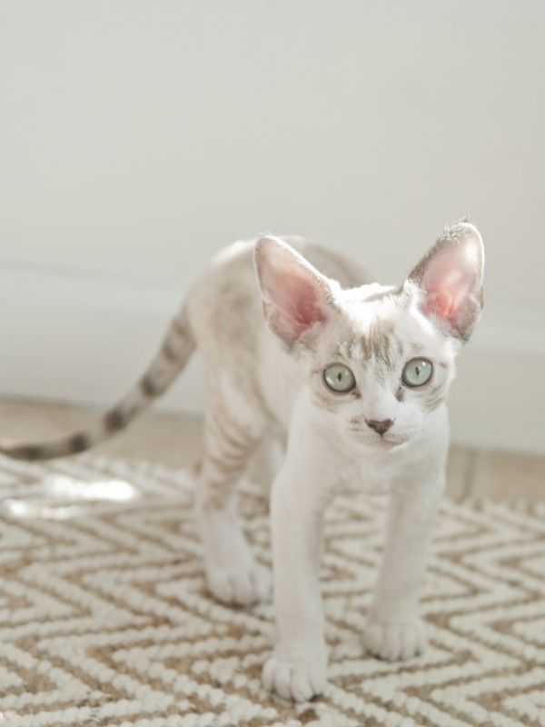 The Devon Rex cat has been compared to pixies, elves, and, of course, space aliens for their jumbo-sized satellite-dish ears, large, mischievous 'window-to-the-soul' eyes, and ethereal appearance.