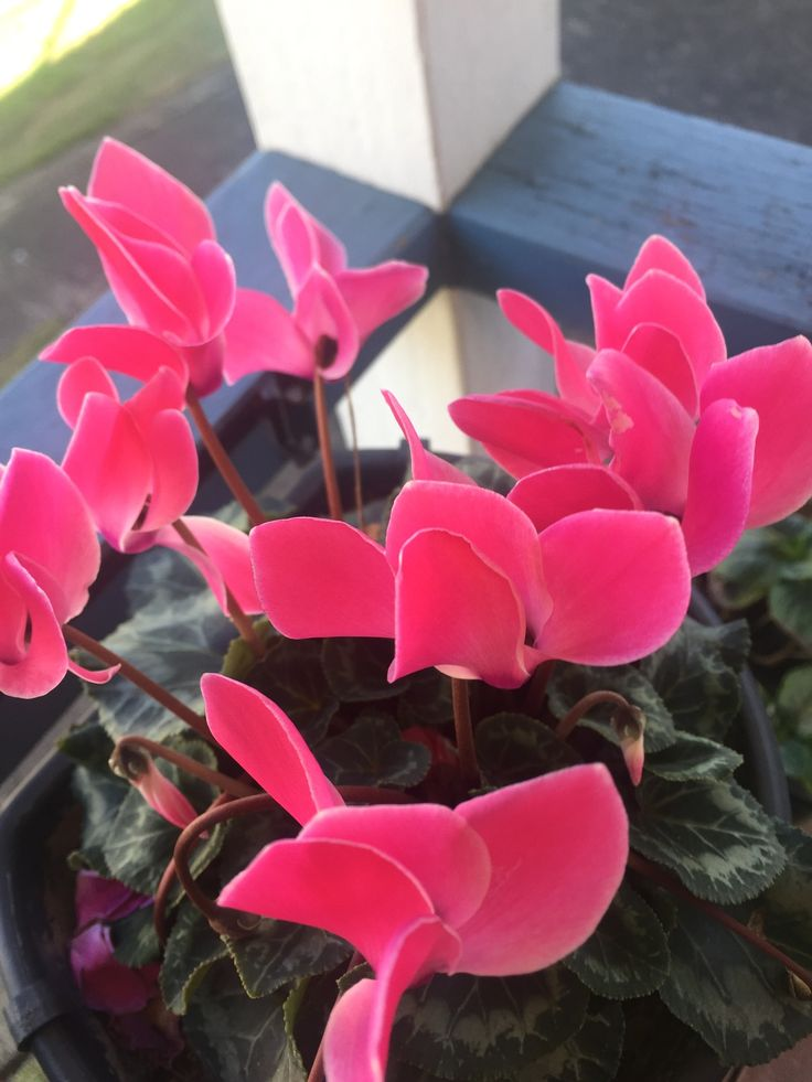 Pretty pink begonias from the garden.