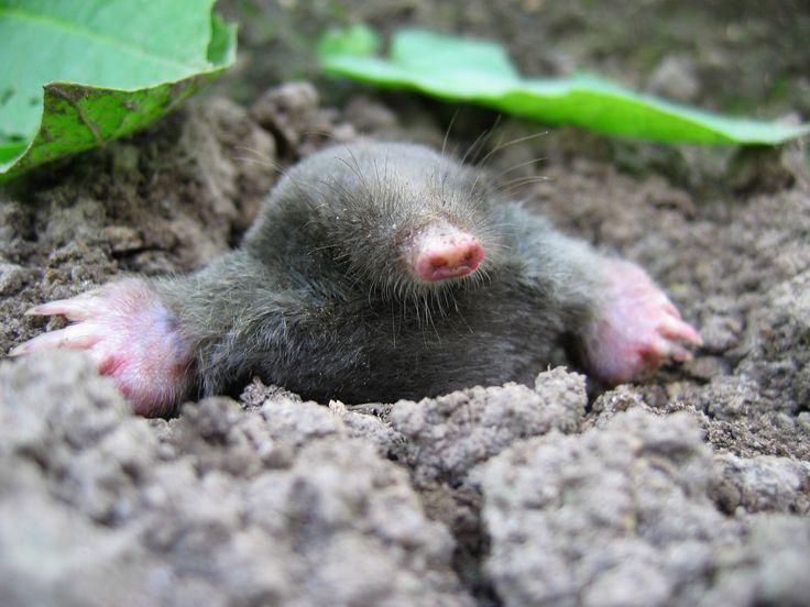 Mole Control Tulsa, Sand Springs, Collinsville OK | Animal Control ...