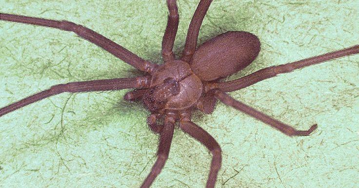 Cómo identificar a un araña reclusa parda