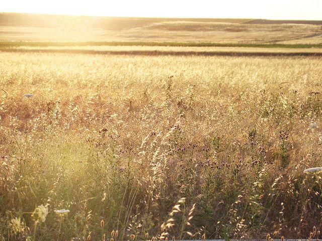 fields of gold | Flickr: Intercambio de fotos