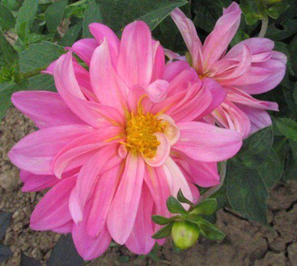 Dahlien sind sonnenhungrige Blüten aus Knollen. Die Blüten produzieren brillante …