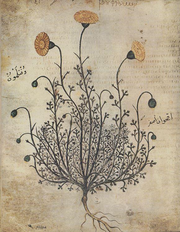 "Bouphthalmon, Wiener Dioskurides, folio 75v, (copy of ""De materia medica"" by Pedanius Dioscorides), 512 n. Chr."