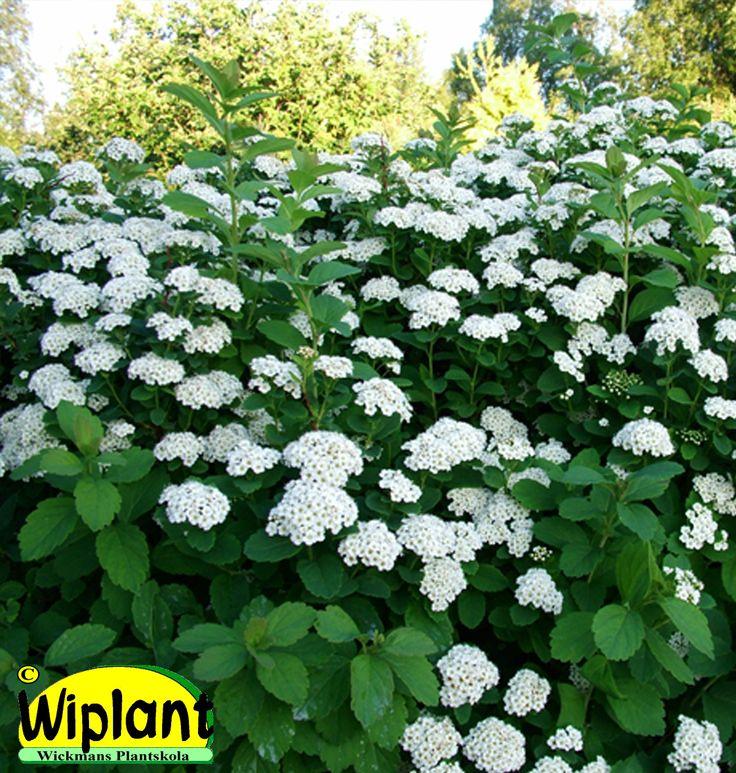 Spiraea bet. 'Renko', Björkspirea. Tät, vita blommor, grönt bladverk. Höjd: 0,7-1 m.