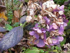Daños habituales en las hojas de la hortensia