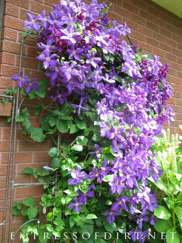 Best Vines 2020 Clematis Flowering Vine Gallery | 2018   2020 Garden | Flowering