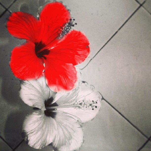 Happy Independence's Day #indonesia #flower #instabpn #instagram #instagramers #igers #merah #putih #hibiscus