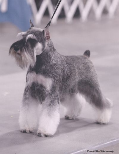 Schnauzer Reminds me of Dexter. Pure muscle.