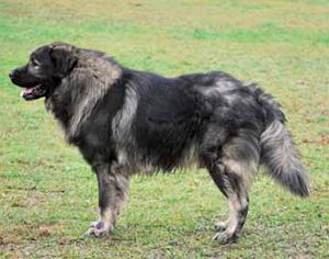Sarplaninac (Jugoslawischer Hirtenhund) - Hunderassen – Hunde-Ratgeber