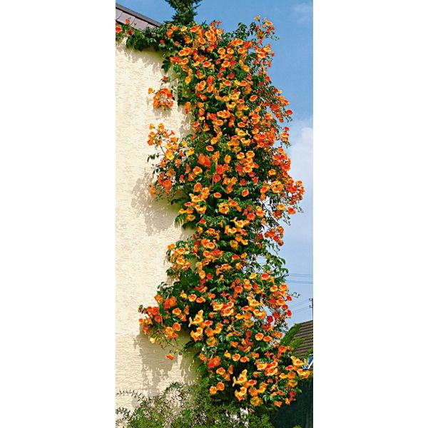 winterharte pflanzen orange f r die terrasse bing images. Black Bedroom Furniture Sets. Home Design Ideas