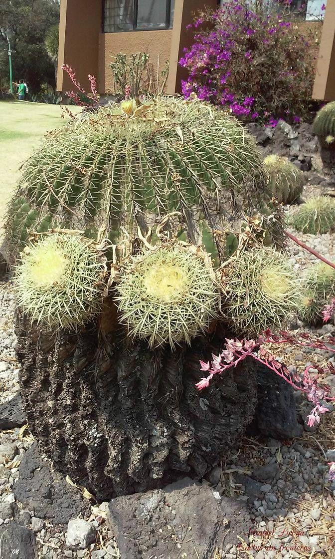 Echinocactus grusonii / Jardín botánico de la UNAM / Cactus sin fronteras / Manuel Licona