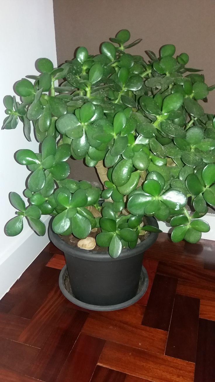 """Planta-jade - """"Crassula ovata"""". Planta reproduzida de outra."""