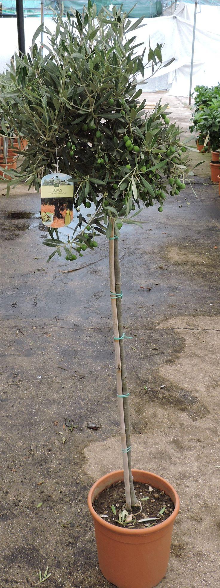 Olive Standard 140cm+ height, 7.5ltr decopot