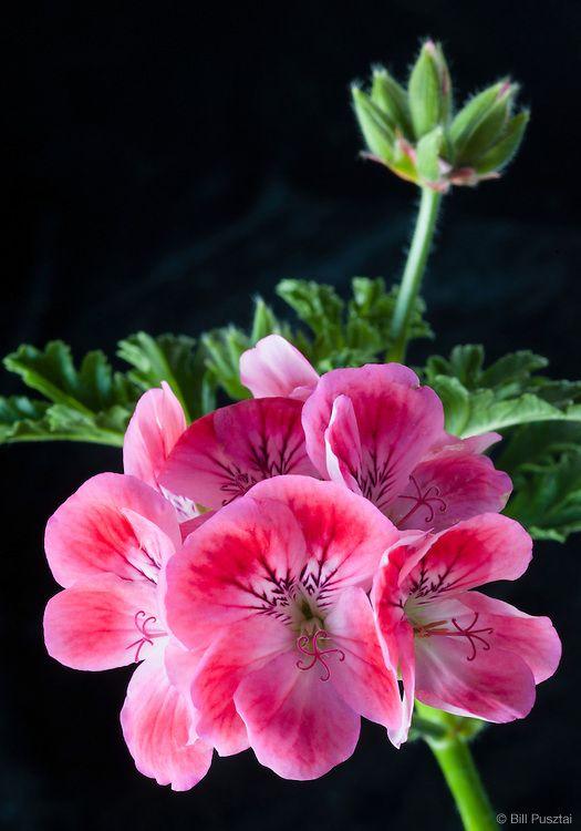 Pelargonium 'Apricot'   www.perugiaflowershow.com