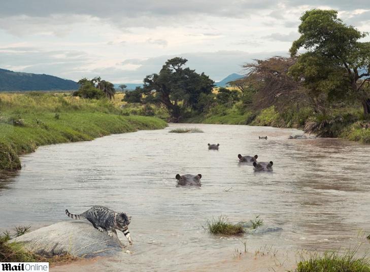 """Destemido, o gatinho aventureiro """"enfrentou"""" até um rio cheio de hipopótamos."""