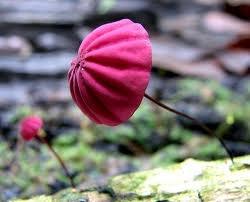 purple parasolMarasmius, Fairies, Purple, Mushrooms Fungi, Pink Umbrellas, Fungus, Red Umbrellas, Dishfunctional Design, Rainforests