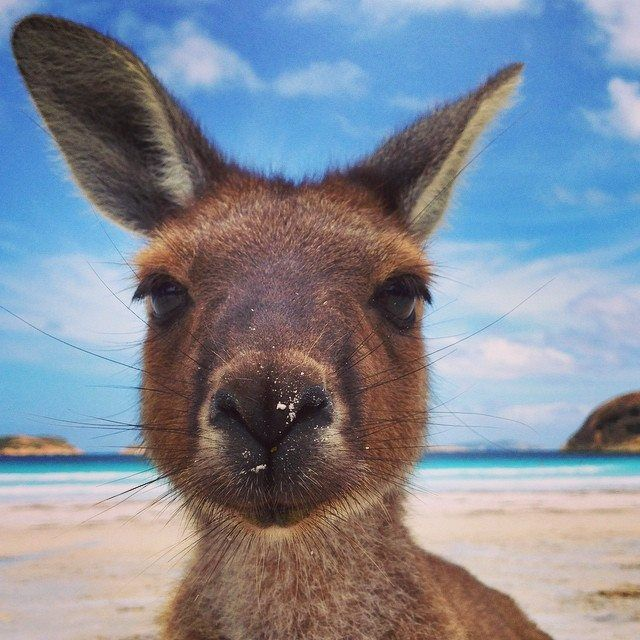 This curious fellow is one of the many kangaroos that live at Lucky Bay in Cape Le Grand National Park, Western Australia.