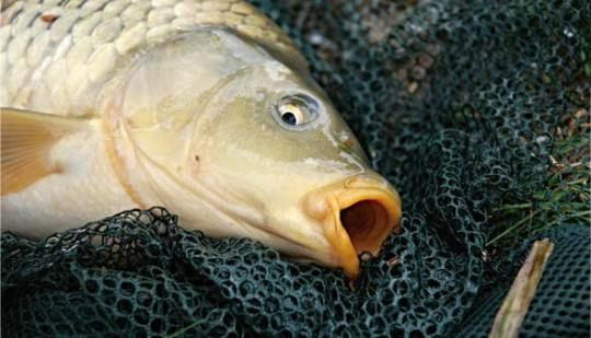 Best 20 Carp Fishing Tips Ideas On Pinterest Carp