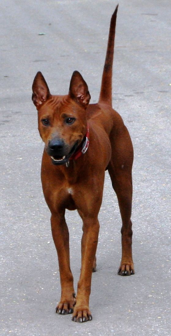 Thai Ridgeback Dog!!! I will own one some day soon!!!