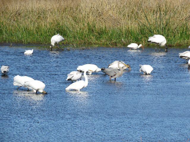 Bird Photos, Birding Sites, Bird Information: WADING BIRDS, POND BEHIND WALMART, I-75, EXIT 170,...