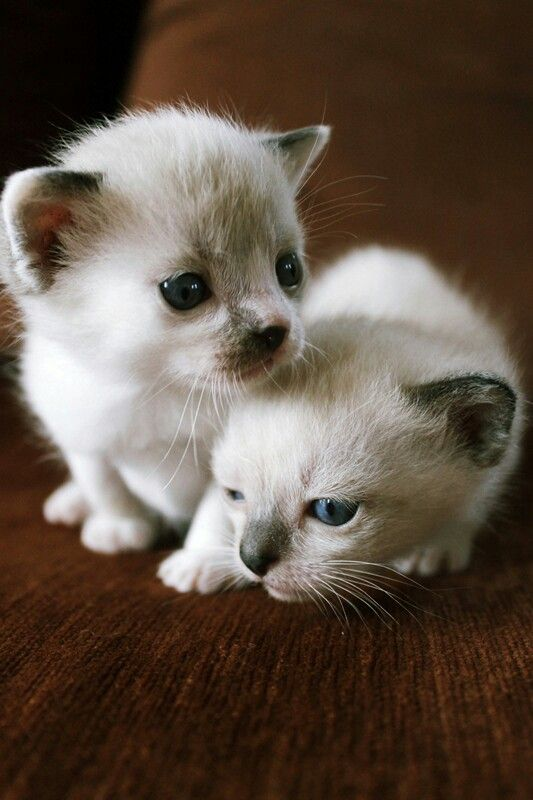#little #cats #animals #lovely #sweet