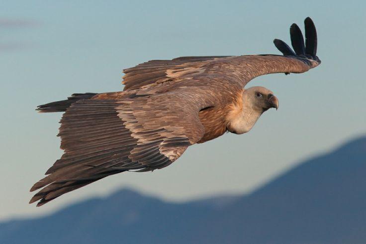 Avvoltoi (buitres, vautours, vultures). Fotografia di Emanuele Congiu.