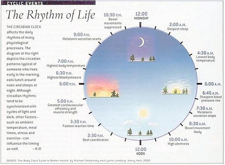 Cryptochrome circadian clock chart