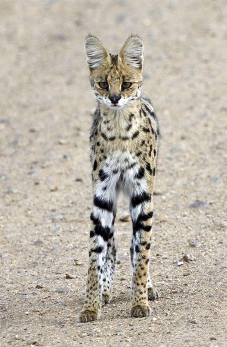 "Africa | ""Rare Sighting"".  Serval Cat.  Serengeti National Park, Tanzania | ©Cheryl, via flickr"