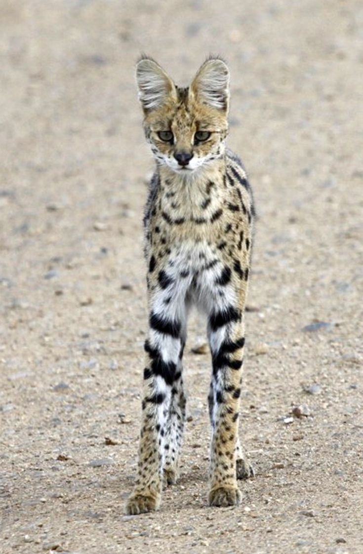 "Africa | ""Rare Sighting"".  Serval Cat.  Serengeti National Park, Tanzania 