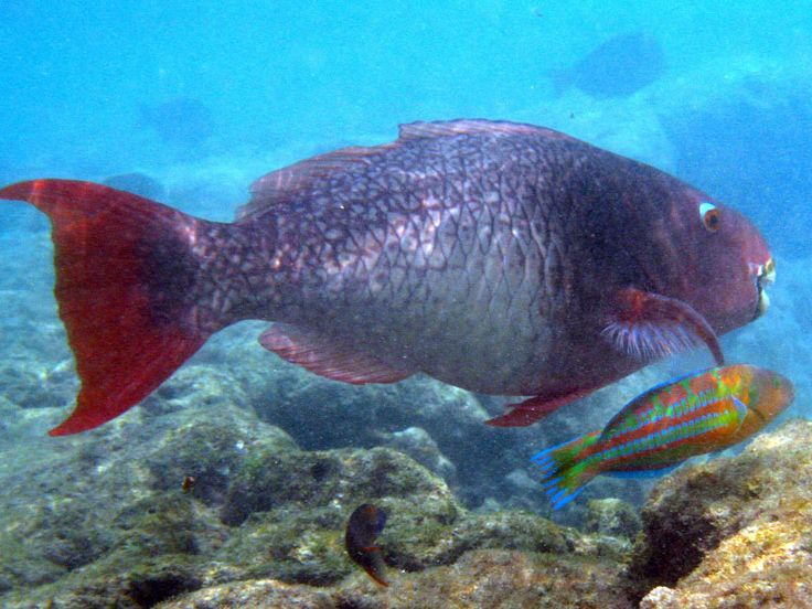 12 best reef fish i saw in kaua 39 i images on pinterest for Fish in hawaii