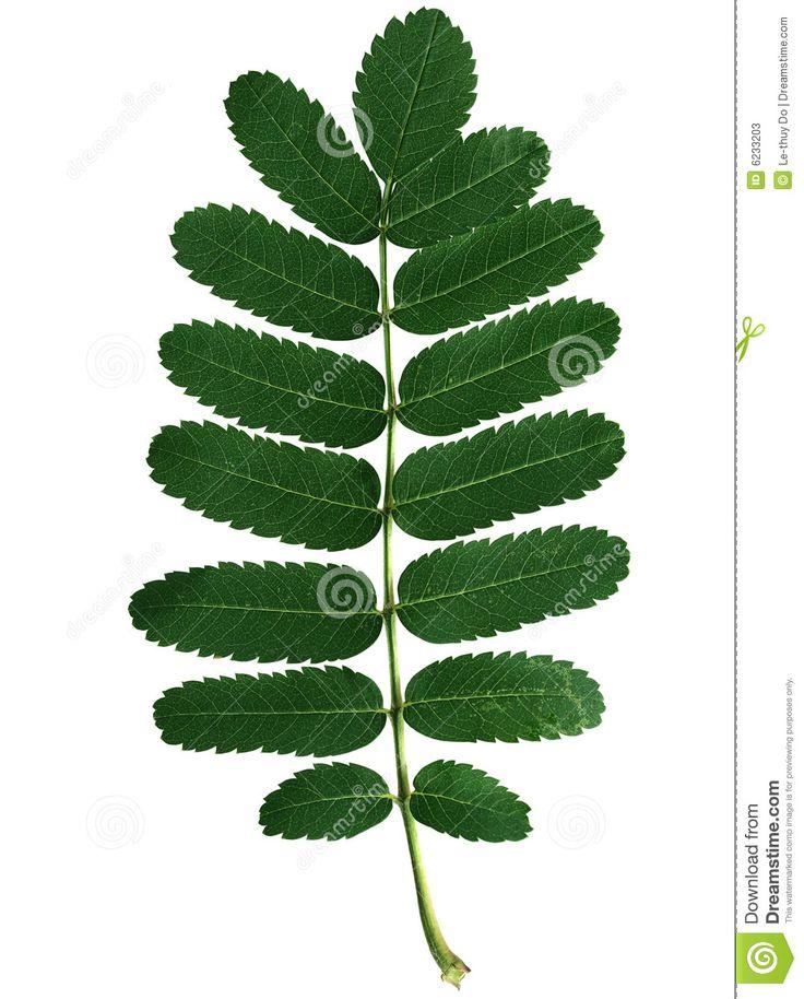 Perfect rowan leaf.