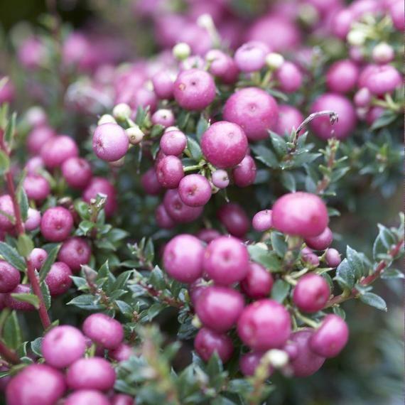 Pernettya Blanc.Marjakanerva Pernettya Mucronata Berry Plants Container Plants Container Garden Design