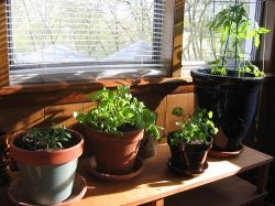 How To Grow Vegetables Indoors even in the winter!