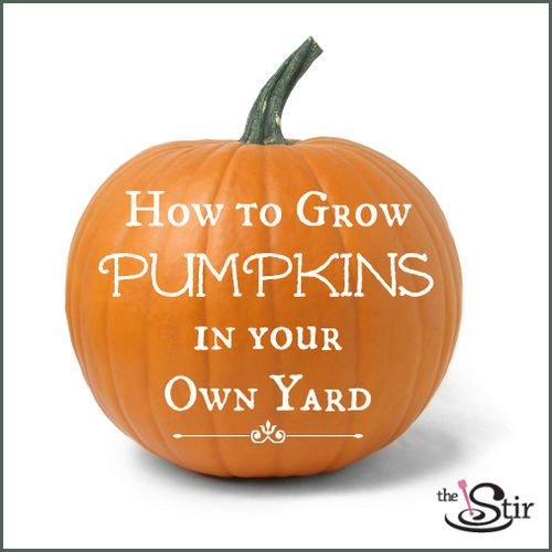 For when I get a house with a yard - Here's how to grow your very own pumpkin patch. Summon The Great Pumpkin!