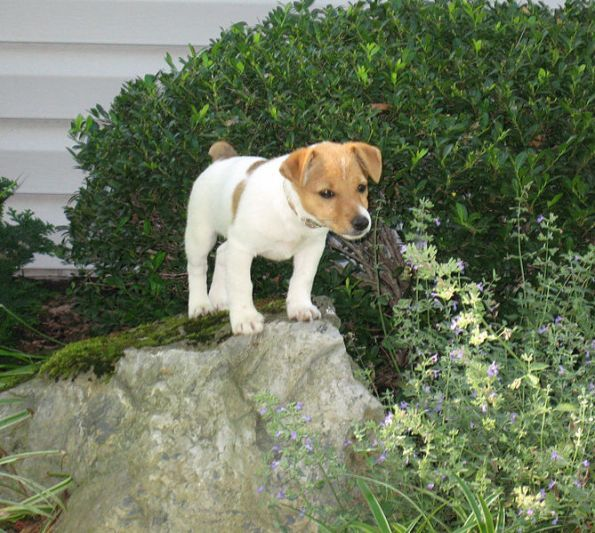 jack russell puppies | Irish Jack Russell - Shorty Jacks, Short Jack Russell