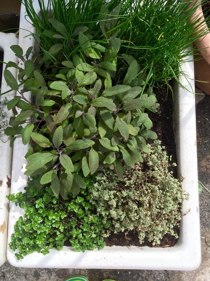 Belfast sink herb garden Sage Thyme Chives