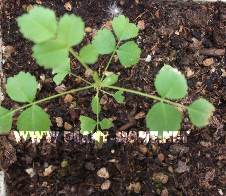 tohumdan gül yetiştirme
