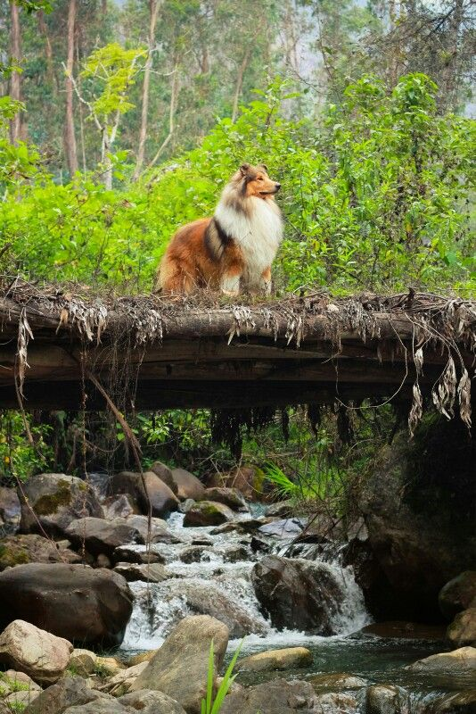 Rough Collie, I love this breed, my first dog was a collie, sable and white like this one. She was called Vicky , I was fifteen when she was given to me.
