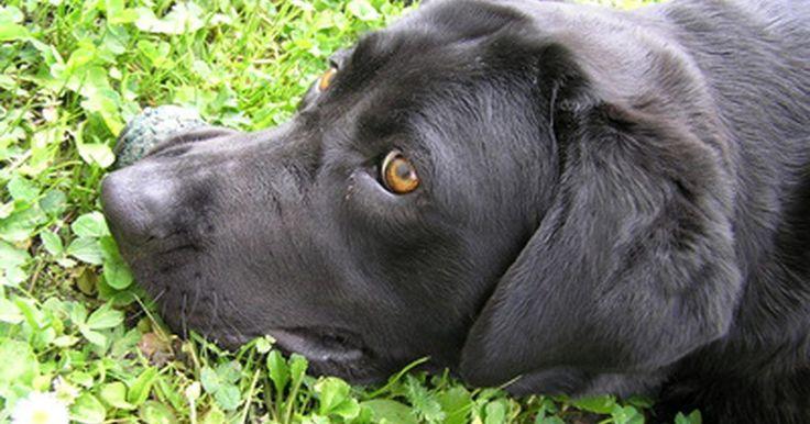 Medicamentos antimicóticos para perros. Las enfermedades micóticas en los perros son causados porque el animal inhala esporas micóticas o por contaminación de la piel del perro por hongo. Las esporas micóticas son habitantes normales del ambiente y, cuando entran en contacto con las células del perro, liberan enzimas que producen toxinas y matan, digieren e invaden las células huésped. ...