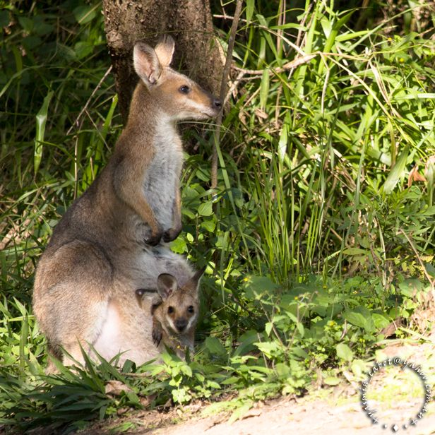 A curious little joey. #australianwildlife #wallaby #babyanimals