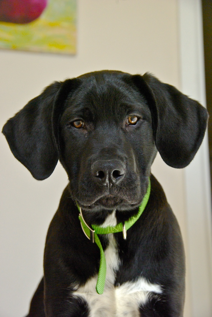 My Puppy Tembo He Puts The Great In Great Dane Lab Mix Boxer