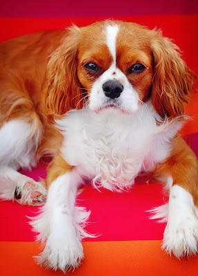 King Charles Cavalier Spaniel. Thoughts of a Cardmaking Scrapbooker!