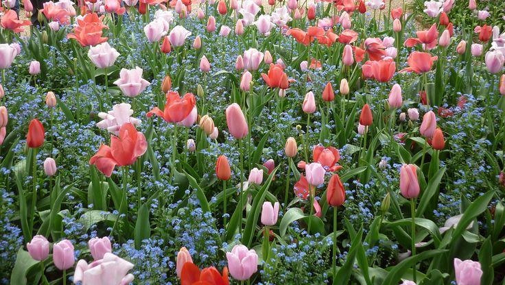 Tulips,Monets garden