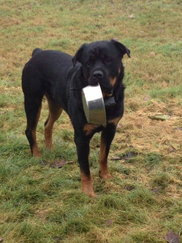 Best Dog Food For Labs >> can i get a refill?! | Love my rottie | Pinterest ...