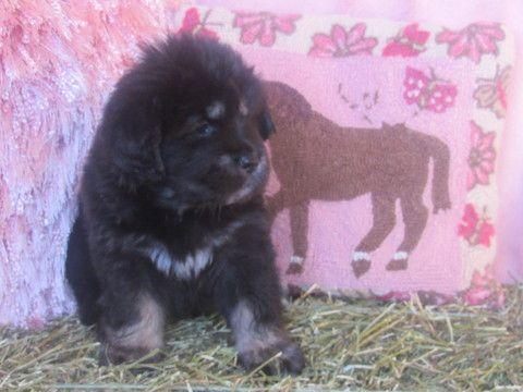 Litter of 7 Tibetan Mastiff puppies for sale in LAWSON, MO. ADN-66086 on PuppyFinder.com Gender: Female. Age: 5 Weeks Old