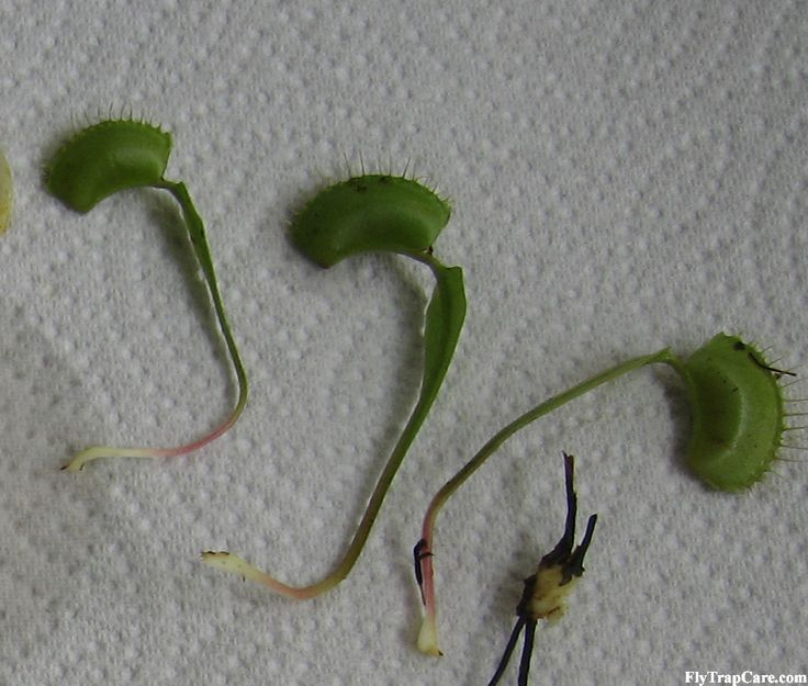Three Leaf Pullings - methods of Venus flytrap propagation