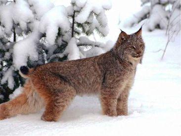 HÄLSINGLAND -Lodjur Hälsinglands landskapsdjur (Lynx Hälsinglands landscape animals)